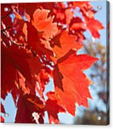 Glowing Fall Maple Colors 4 Acrylic Print