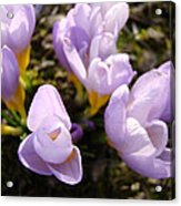 Glowing Floral Art Prints Crocus Flowers Acrylic Print