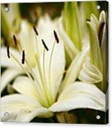 Glowing Lillies Acrylic Print by Alexandra  Rampolla