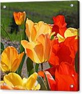 Glowing Sunlit Tulips Art Prints Red Yellow Orange Acrylic Print