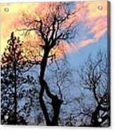 Gnarled Tree Silhouette Acrylic Print