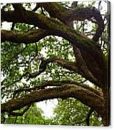 Gnarly Oak Acrylic Print