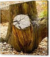 Gnarly Stump Acrylic Print