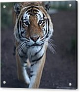 Go Get 'em Tiger Acrylic Print by Brenda Schwartz