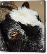 Goat 5d27189 Acrylic Print by Wingsdomain Art and Photography
