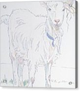 Goat Drawing Acrylic Print