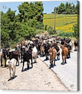 Goat Herd Acrylic Print