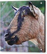 Goat In Profile Acrylic Print