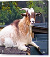 Goat On The Roof Acrylic Print