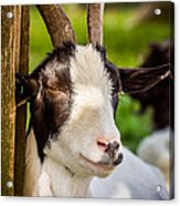 Goat Portrait Acrylic Print