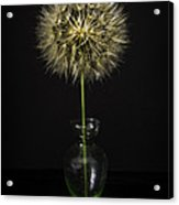 Goat's Beard In Vase Acrylic Print by Mitch Shindelbower