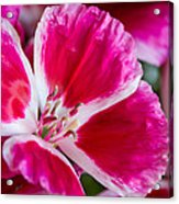 Godetia Pink And White Flower Acrylic Print