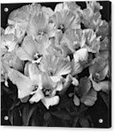 Godetia Wild Roses Acrylic Print