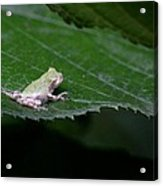 God's Tiny Tree Frog Acrylic Print