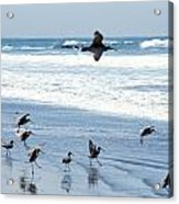 Godwits Landing On Pacific Coast Beach Acrylic Print