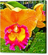 Gold And Pink Orchid At Maerim Orchid Farm In Chiang Mai-thailan Acrylic Print