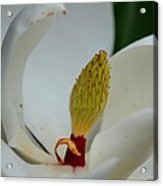 Gold Centered Magnolia Acrylic Print