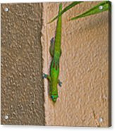 Gold Dust Day Gecko Acrylic Print