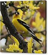 Gold Finch Gold Leaves Acrylic Print