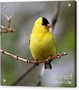 Gold Finch Acrylic Print