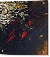 Gold Fish Swimming Acrylic Print