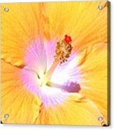 Gold Hibiscus Acrylic Print