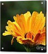 Gold Petals Acrylic Print