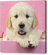 Gold Retriever Pink Background Acrylic Print