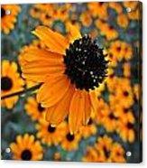 Gold Rudbeckia Blooms Acrylic Print