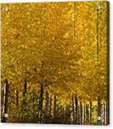 Golden Aspens Acrylic Print by Don Schwartz