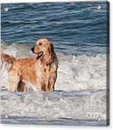 Golden At The Beach Oil Acrylic Print