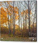 Golden Autumn Acrylic Print