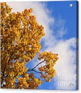 Golden Autumn Leaves And Blue Sky Acrylic Print