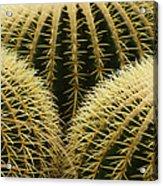 golden barrel cactus Mexico Acrylic Print