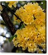 Golden Blooms Two Acrylic Print