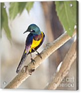 Golden-breasted Starling Acrylic Print