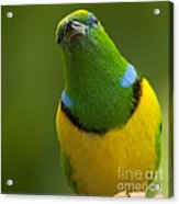 Golden-browed Chlorophonia - Chlorophonia Callophrys Acrylic Print