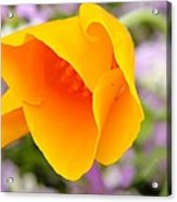 Golden California Poppy Acrylic Print