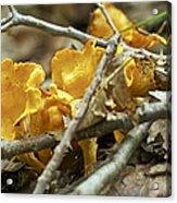Golden Chanterelle - Cantharellus Cibarius Acrylic Print
