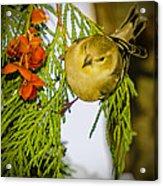 Golden Christmas Finch Acrylic Print