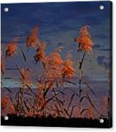 Golden Common Reeds Acrylic Print