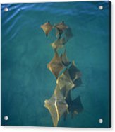 Golden Cownose Rays Schooling Galapagos Acrylic Print