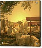 Golden Cows Acrylic Print