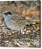 Golden-crowned Sparrow Acrylic Print