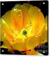 Golden Desert Flower Acrylic Print