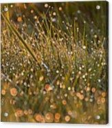 Golden Dew Drops Acrylic Print