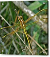 Golden Dragonfly At Rest Acrylic Print