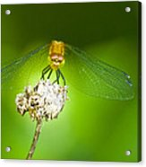 Golden Dragonfly On Perch Acrylic Print