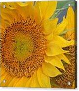 Golden Duo - Sunflowers Acrylic Print