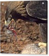 Golden Eagle Eats Acrylic Print